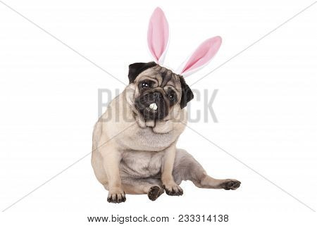 Adorable Cute Pug Puppy Dog Sitting Down With Easter Bunny Ears And Teeth, Isolated On White Backgro