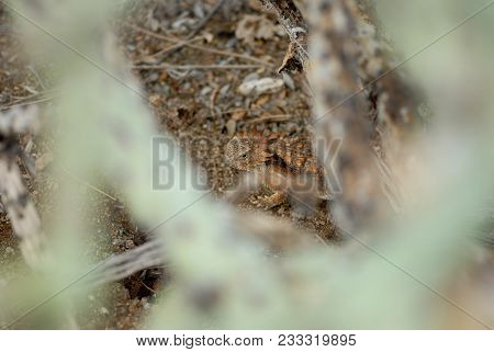 An In Situ Photograph Of A Horned Lizard From The Deserts Of Southern Arizona.