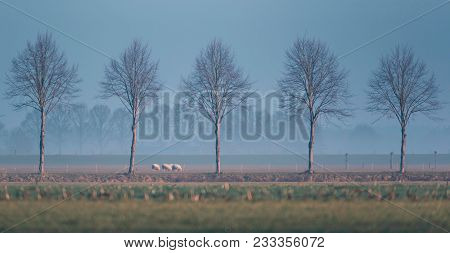 Misty Dutch Rural Winter Landscape With Row Of Trees And Small Group Of Sheep.
