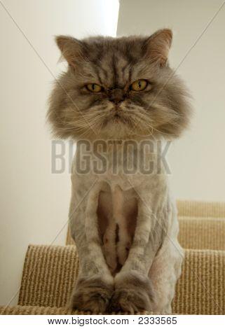 Persian Lion Cut Kitty