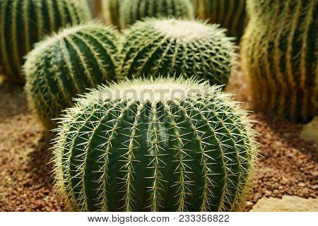 Group Of Golden Ball Cactus Or Echinopsis Cactus Plants