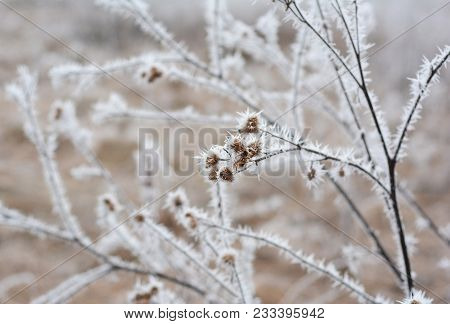 Beautiful Hoarfrost On The Rapeseed And Bush Branches With White Fog.