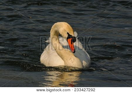 Mute Swan Swiming On A Lake In Germany