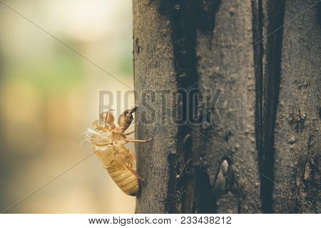 Moult Of Cicada Attach On A Large Tree Bark In The Forest. The Concept Of Death Or Reincarnation Of