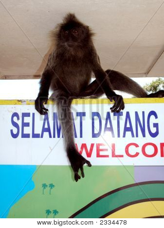 Silver Leaf Monkey at Kuala Selangor in Malaysia poster