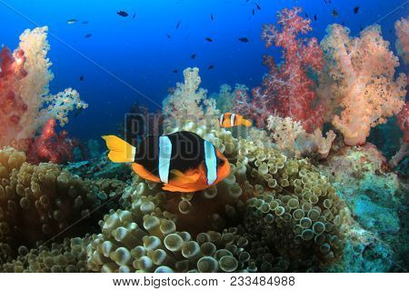 Coral reef with Clownfish anemonefish fish