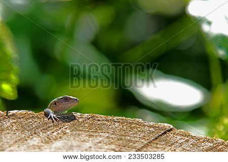 Lizard Hanging On The Stump. He Is Hanging On His Leg Like Relaxing.