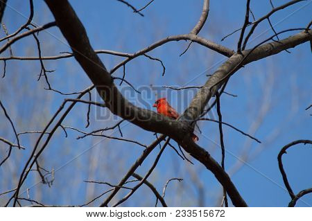 A Male Cardinal Sitting On The Bare Branches Of A Tree, Surrounded By Blue Sky.