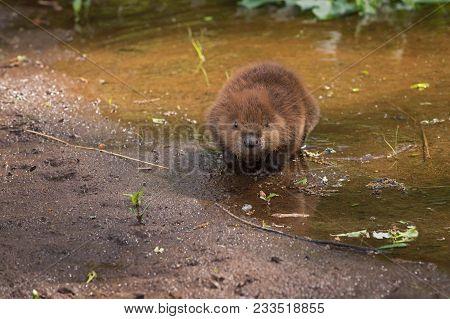 North American Beaver (castor Canadensis) Kit Walks Forward From Water - Captive Animal