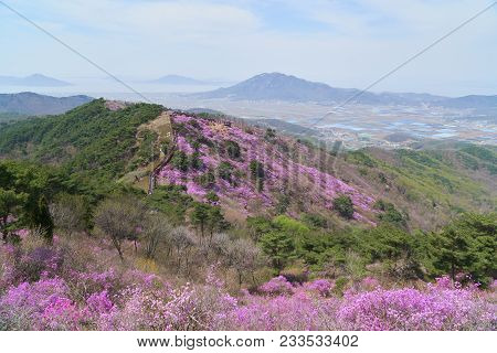 Goryeosan Azalea Festival, Which Is Held At The End Of April Every Year. Goryeosan Is A Highest Moun