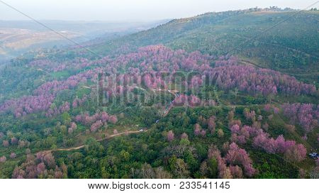 Aerial From Drone, Pink Sakura Flower Or Wild Himalayan Cherry On Mountain, Unseen Thailand At Phu L