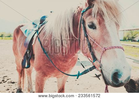 Photo Depicts Beautiful Lovely Brown And White Horse Gazing On A Horse Yard. .beautiful Young Brown