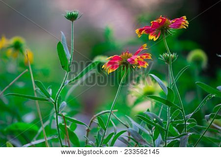 The Reason That The Red Sunflower Is So Special Is That That It Does Not Occur In The Wild. The Red