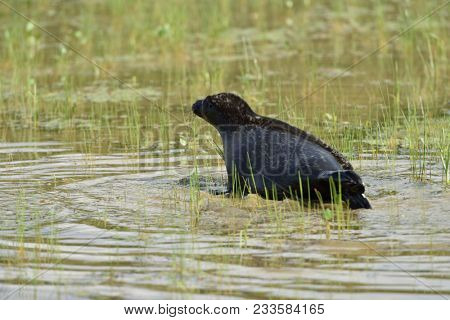VALAAM ISLAND, RUSSIA - JULY 29, 2015: Ladoga ringed seal released into the lake Ladoga after rehabilitation. Animal was cured in the Center of study and conservation of marine mammals