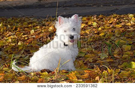 West Highland Terrier Or Westie Dog In Autumn Park. Westie Tongue Out, Portrait Of Cute West Highlan