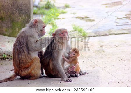 Monkey Family With Baby. Monkey Happy Family - Mother Feeding Baby And Father Sitting Near. The Fami