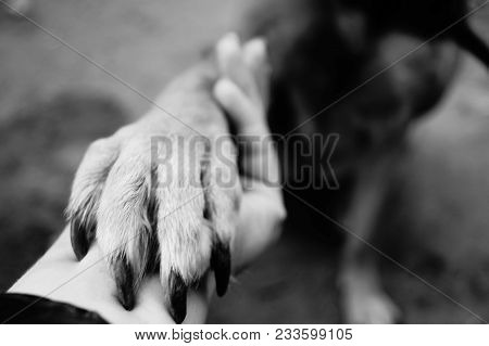 Dog Paw Takes The Woman Hand. People Support Pets. Dog Sits And Gives His Paw Owner Hand. Best Frien