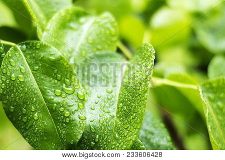 Drops Of Morning Dew On The Green Summer Grass. Beautiful Leaf Texture In Nature. Natural Background