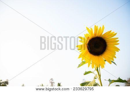 Sunflowers Garden. Sunflowers Have Abundant Health Benefits. Sunflower Oil Improves Skin Health And
