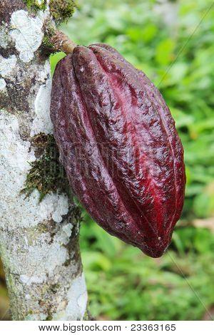Pod Of Arriba Cacao In Ecuador