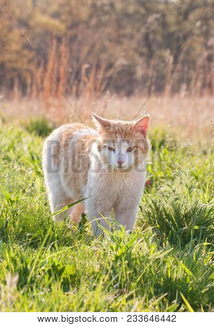 Spotted white and ginger stray cat in spring grass, back lit by late afternoon sun