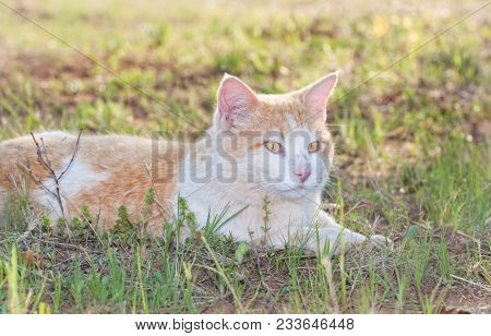 White and ginger tomcat lying in spring grass, looking to the right of the viewer, backlit by evening sun