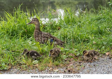 Wild Duck With Her Offspring Next To A Pond In The Grass