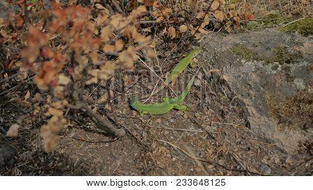 Close Up Of A Green Veiled Chameleon Lizard