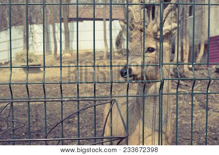 The Young Deer Lives In A Cage In The Zoo. Deer Family In A Cage.
