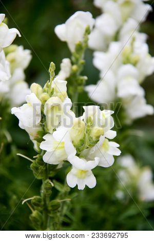 White Snapdragon Or Antirrhinum. Close Up Snap Dragon Flower In Garden As Clorful Background Or Card