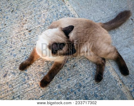 Action Animal Themes Cat Close-up Cute Cat Domestic, Action Cat Funny, Eye,thai Cat In Looking Actio