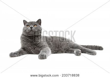 Gray Cat Breed Scottish-straight Isolated On White Background. Horizontal Photo.