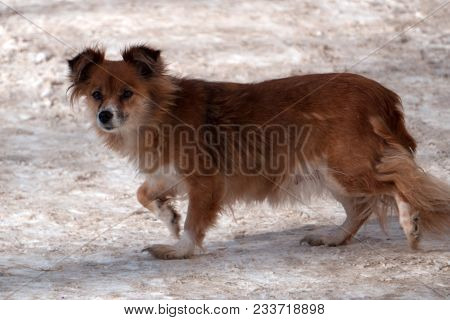 Little Cute Red-haired Mongrel Dog With Open Mouth