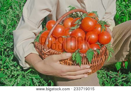 Wicker Basket Full Of Healthy Organic Red Tomatoes