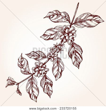 Coffee Tree Branch Freehand Drawing In Sketch Style. Coffee Plant Concept, Branch With Leaf And Bean