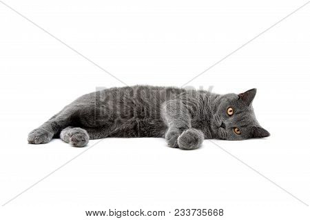 Cat Breed Scottish-straight Isolated On White Background. Horizontal Photo.