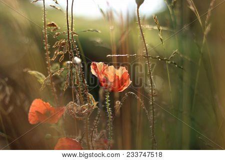 Rote Mohnblume Im Feld Zwischen Gras Am Abend.