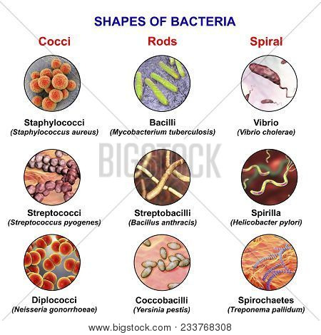 Shapes Of Bacteria, Spherical, Rod-like And Spiral Bacteria With Examples, View Under Microscope Wit