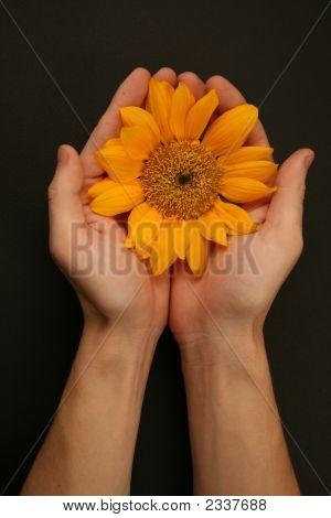 Hands Holding Sunflower