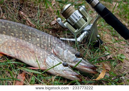 Freshwater Northern Pike Fish Know As Esox Lucius  And Fishing Rod With Reel Lying On Green Grass. F