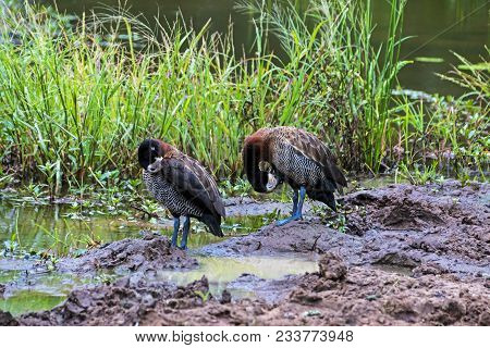 Two White Faced Whistling ducks at water hole at Imfolozi Hluhluwe game reserve in Zululand, KwaZulu Natal in South Africa poster