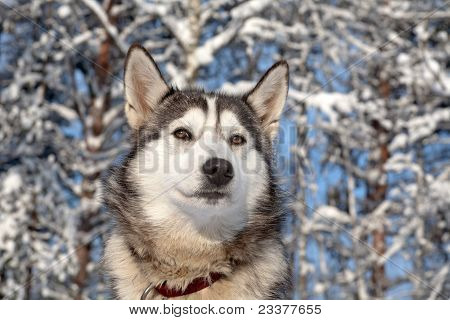 Sled Dog Close-up