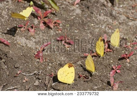 A Bunch Of Common Grass Yellow Butterflies (eurema Hecabe) Mud Puddling , Ie, Sucking Up Fluid From