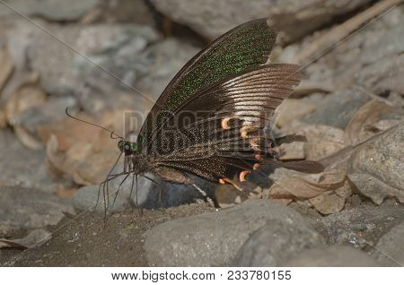 Common Mormon Butterfly (papilio Polytes Linnaeus), Urinating On Wet Land. Image Shot At Sikkim , In