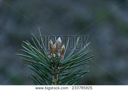 Pine Tree Branch With New Tip In Springtime, Plana Mountain, Bulgaria