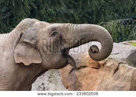The African Bush Elephant (loxodonta Africana), Also Known As The African Savanna Elephant, Is The L