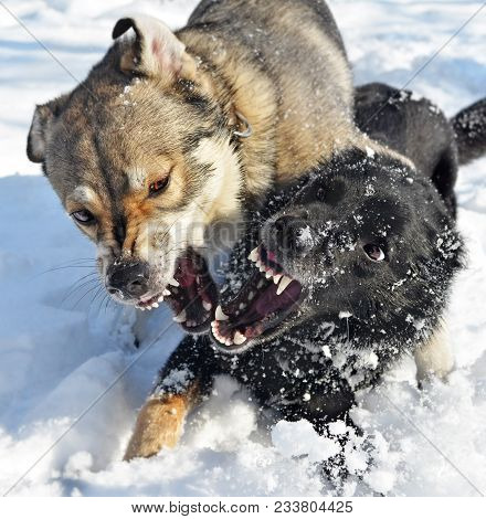 Grinning mouths of two dogs. Animals play in snow, but expressions of their muzzles such terrible that it is possible to think that they fight. A metaphor for aggression. poster