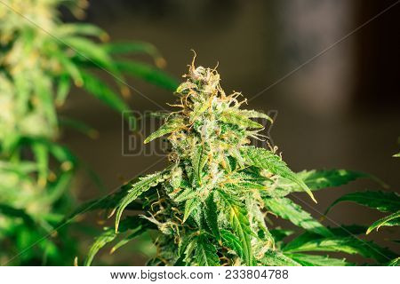 medicinal Macro buds of marijuana trichomes cbd thc. Concepts of legalizing herbs weed, bud cannabis, Macro shot with sugar , buds grown cannabis in the house, Bud cannabis before harvest poster