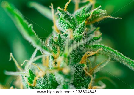 bud cannabis, marijuana cbd thc. legalizing medicinal herbs weed, Macro shot with sugar trichomes, buds grown cannabis in the house, Bud cannabis before harvest poster