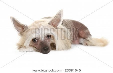 Sad chinese crested dog laying and looking in the camera isolated on white background poster